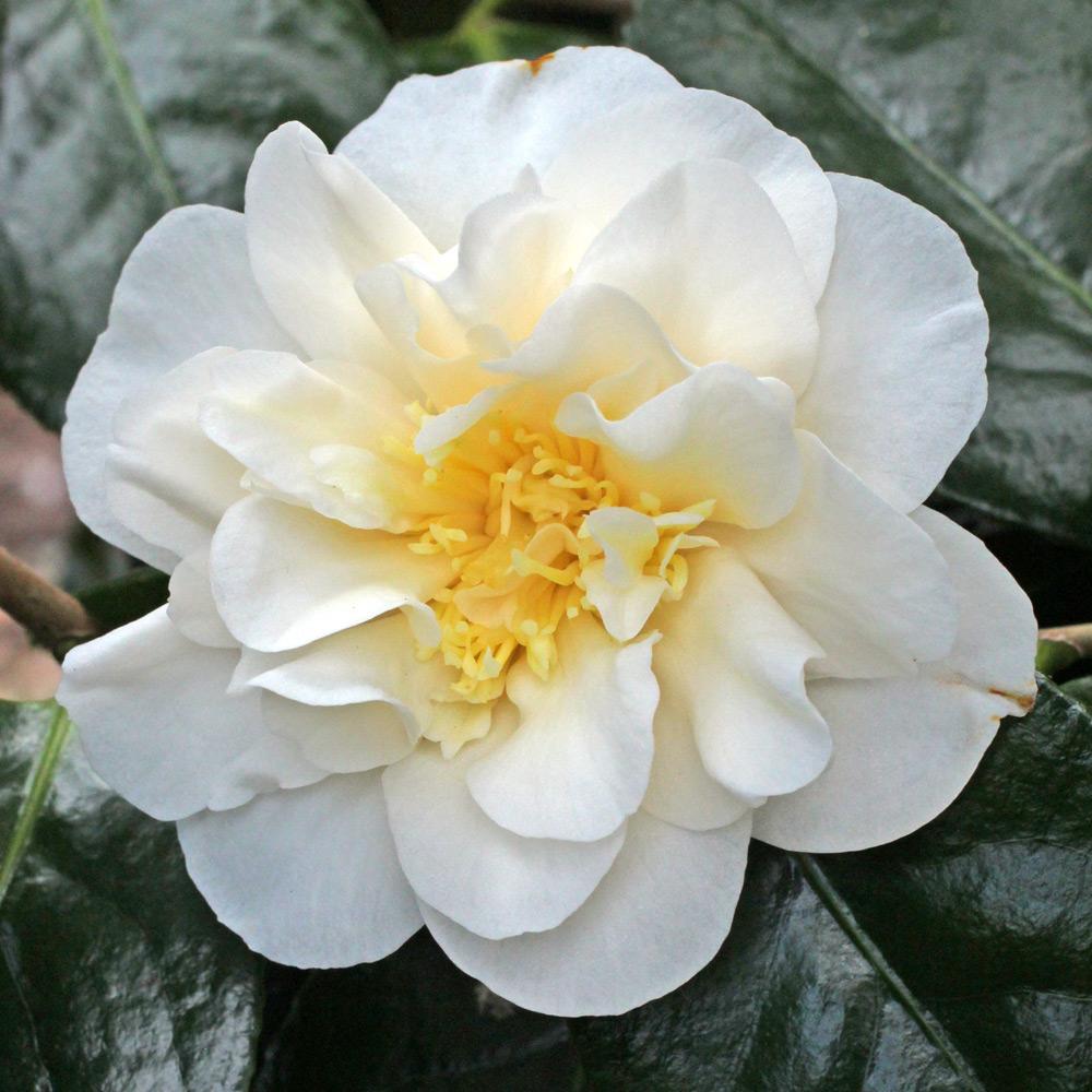 Camellia japonica 'Lulu Belle'