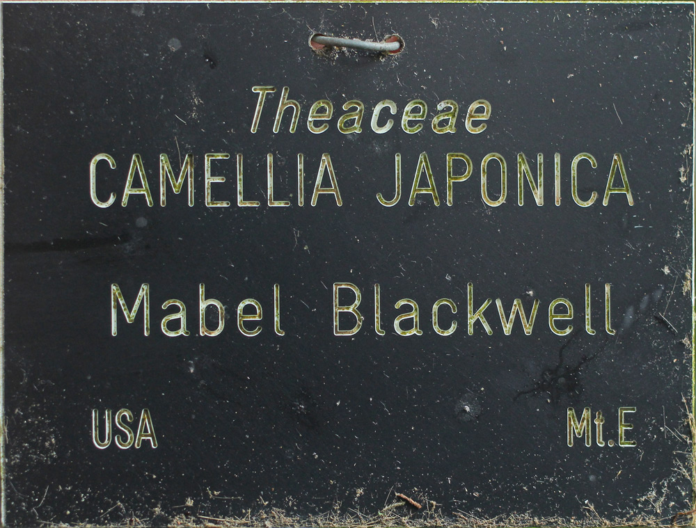 Camellia japonica 'Mabel Blackwell'