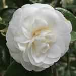 Camellia japonica 'Masterpiece'