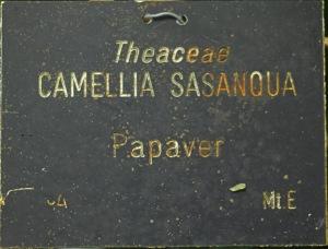 Camellia sasanqua 'Papaver'