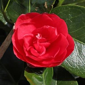 Camellia japonica 'Pearl Harbor'