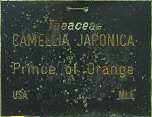 Camellia japonica 'Prince of Orange'