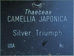 Camellia japonica 'Silver Triumph'