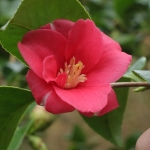 Camellia japonica 'Theo's Mini'