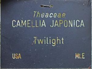 Camellia japonica 'Twilight'