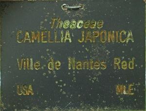 Camellia japonica 'Ville de Nantes Red'