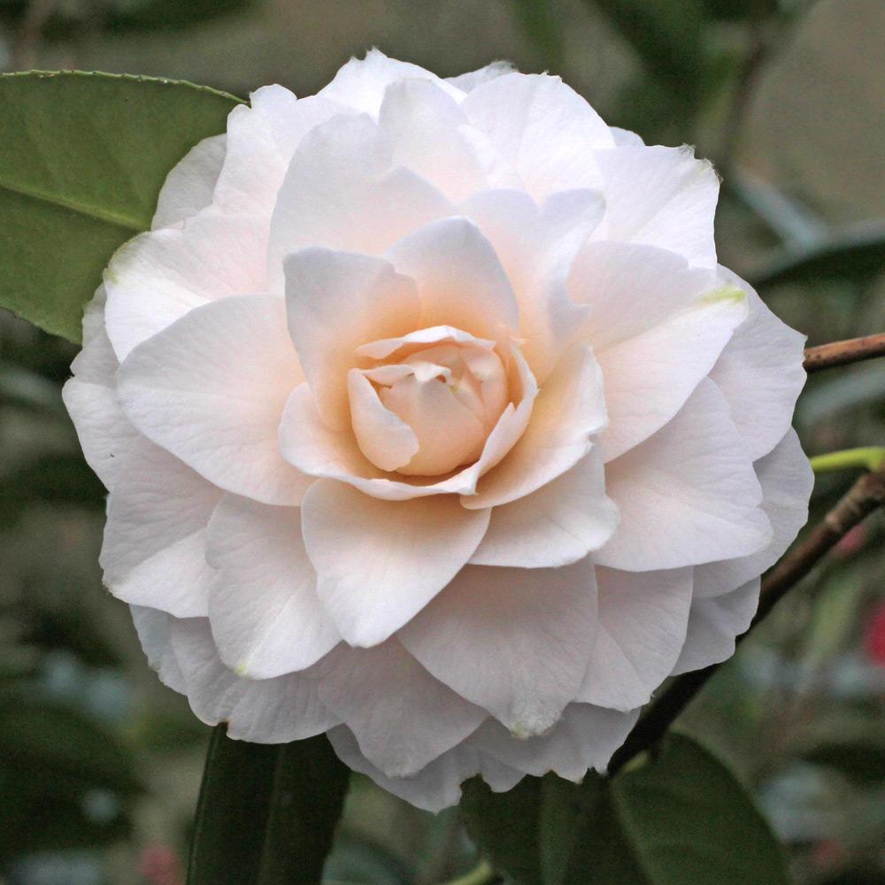 Camellia japonica 'Virgin's Blush'
