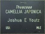 Camellia japonica 'Joshua E. Youtz'