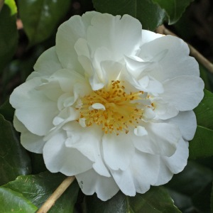 Camellia japonica 'Angel'