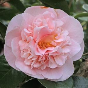 Camellia japonica 'Betty Sette'