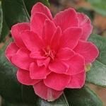 Camellia japonica 'Billie McCaskill'