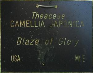 Camellia japonica 'Blaze of Glory'