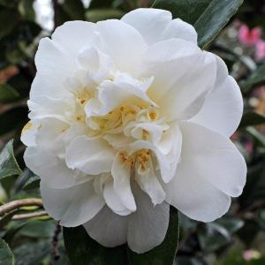 Camellia japonica 'Charlie Bettes'