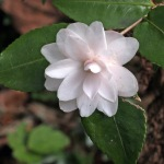 Camellia 'Cinnamon Cindy'