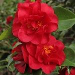 Camellia japonica 'Doctor Burnside'