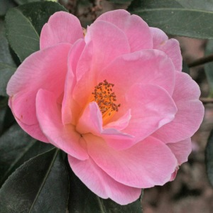 Camellia japonica 'Dream Time'