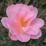 Camellia japonica 'Dream Time'