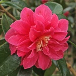 Camellia japonica 'Eleanor Grant'