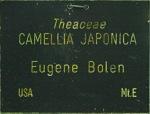 Camellia japonica 'Eugene Bolen'