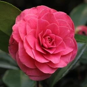 Camellia japonica 'Fashionata'