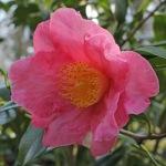 Camellia japonica 'Firefalls'