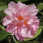 Camellia x williamsii 'Freestyle'