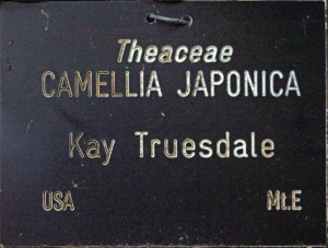 Camellia japonica 'Kay Truesdale'