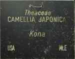 Camellia japonica 'Kona'