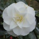 Camellia japonica 'Kona' (1N-035)