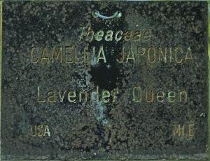 Camellia sasanqua 'Lavender Queen'