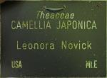 Camellia japonica 'Leonora Novick'