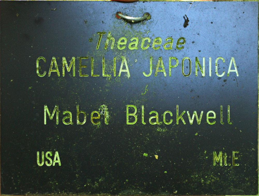 Camellia japonica 'Mabel Blackwell'