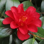 Camellia japonica 'Marian Mitchell'