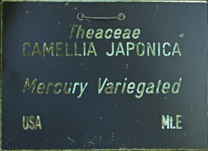 Camellia japonica 'Mercury Variegated'