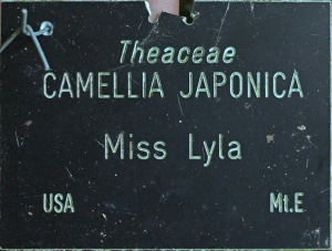 Camellia japonica 'Miss Lyla'