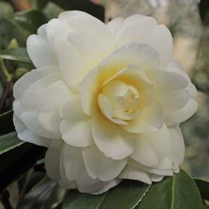Camellia japonica 'Miss Universe'