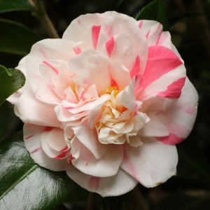 Camellia japonica 'Mississippi Beauty'