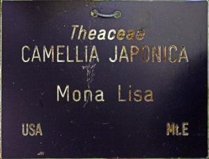 Camellia japonica 'Mona Lisa'