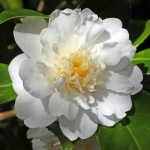 Camellia japonica 'Mona Lisa' (1N-055)