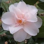 Camellia japonica 'Moonlight Bay'