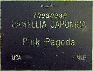 Camellia japonica 'Pink Pagoda'