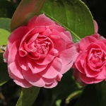 Camellia japonica 'Pink Pagoda'