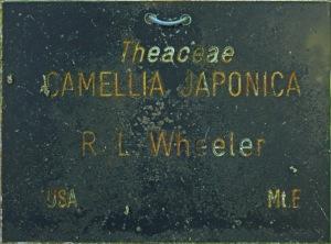 Camellia japonica 'R L Wheeler'