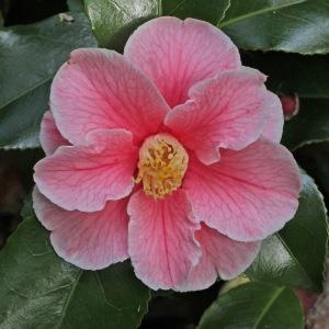 Camellia japonica 'Robert Strauss'