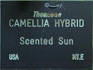 Camellia hybrid 'Scented Sun'