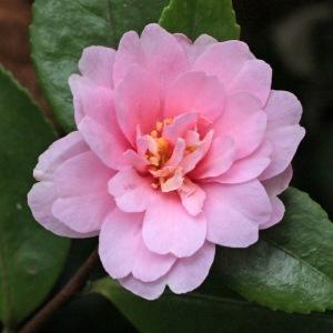 Camellia hiemalis 'Showa Supreme'