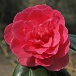 Camellia japonica 'Tickled Pink'
