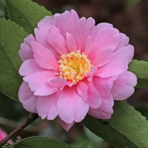 Camellia hybrid 'Winter's Joy'