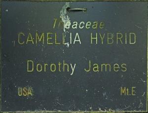 Camellia hybrid 'Dorothy James'