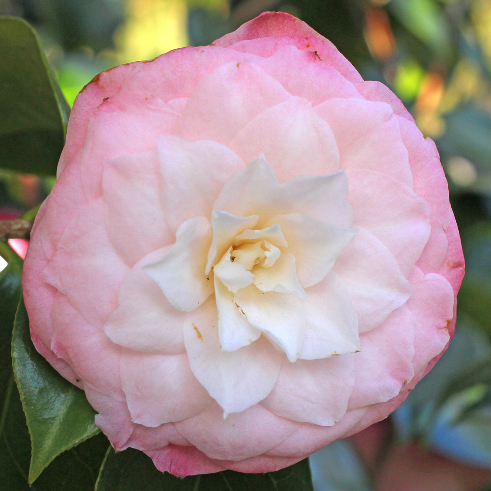 Camellia japonica 'Berenice Perfection'